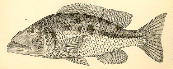 Tyrannochromis macrostoma, drawing from Regan (1922)