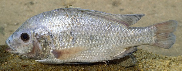 Oreochromis squamipinnis from L. Malombe, photo © by G.F. Turner