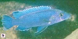 Melanochromis benetos, photo from Ribbink et al. (1983)