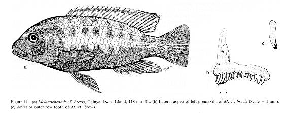 Pseudotropheus brevis, drawings from Ribbink et al. (1983)