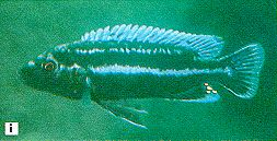 Melanochromis cf. chipokae, male, photo from