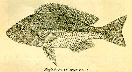 Protomelas pleurotaenia, drawing from Regan (1922)