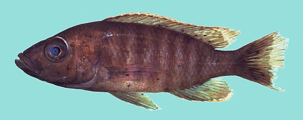 Stigmatochromis modestus, photo copyright © by M. K. Oliver