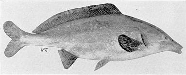 Mormyrus longirostris, a mormyrid