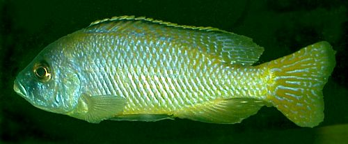 Male Mylochromis labidodon, photo © by Carsten K. Larsen used by permission