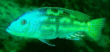 Nimbochromis