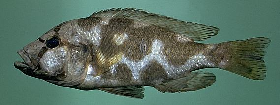 Nimbochromis livingstonii, photo copyright © by M. K.