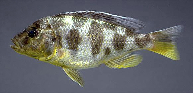 Nimbochromis venustus, photo copyright © by M. K. Oliver