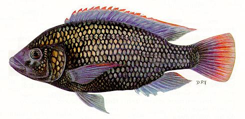 Oreochromis shiranus, a cichlid