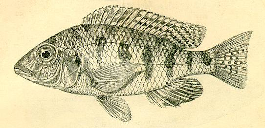 Eclectochromis ornatus holotype, from Regan (1922)