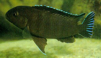 Pseudotropheus