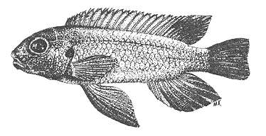 Pseudotropheus cyaneus holotype, from Stauffer (1988)