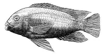 Petrotilapia chrysos, holotype; figure from Stauffer & van Snik (1996)