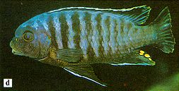 Petrotilapia `likoma barred`; photo from Ribbink et al. (1983)