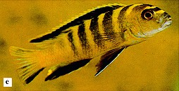 Chindongo flavus, photo from Ribbink et al. (1983)