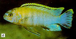 Pseudotropheus gracilior, photo from Ribbink et al. (1983)