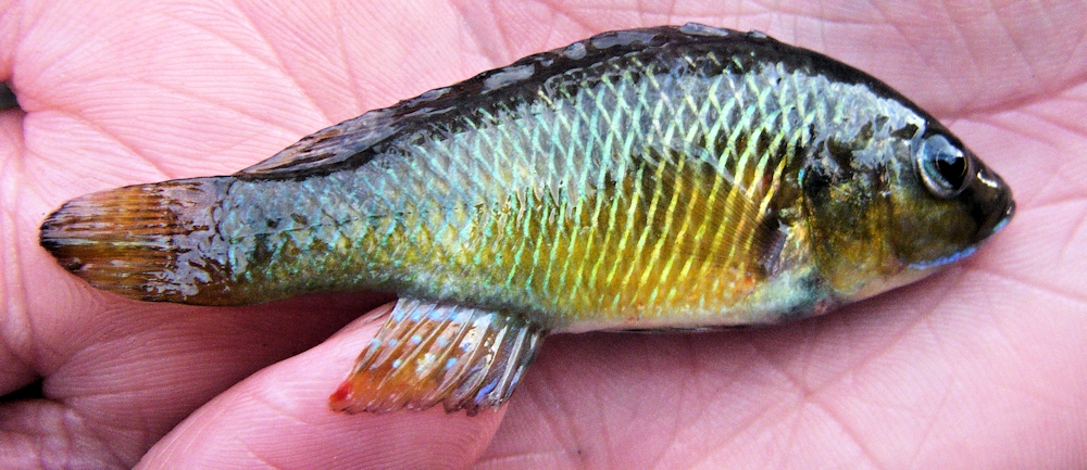 Pseudocrenilabrus philander, a widespread cichlid found in waters surrounding Lake Malawi; photo of a Lake Chilingali (Malawi) specimen by Prof. George Turner