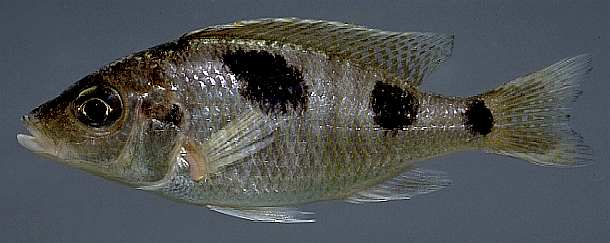 Ctenopharynx pictus; photo by M.K. Oliver