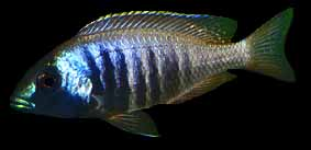 Placidochromis electra, photo by Erwin Schraml; used by permission