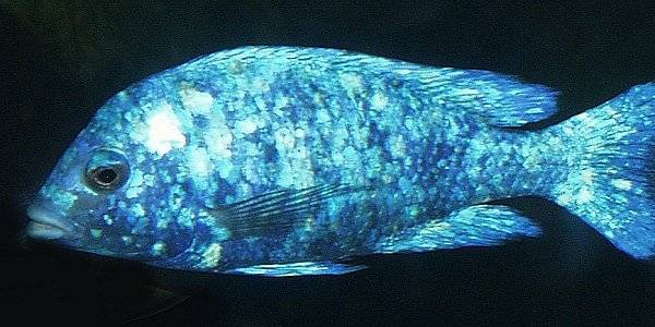Placidochromis `silver blotch;` photo by Anton Cass, used by his kind permission