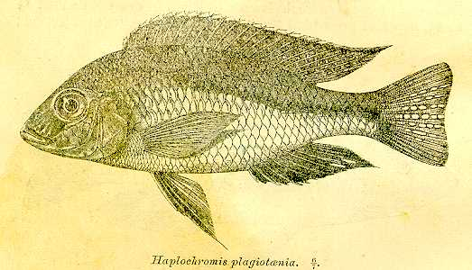 Mylochromis plagiotaenia, drawing of the lectotype,