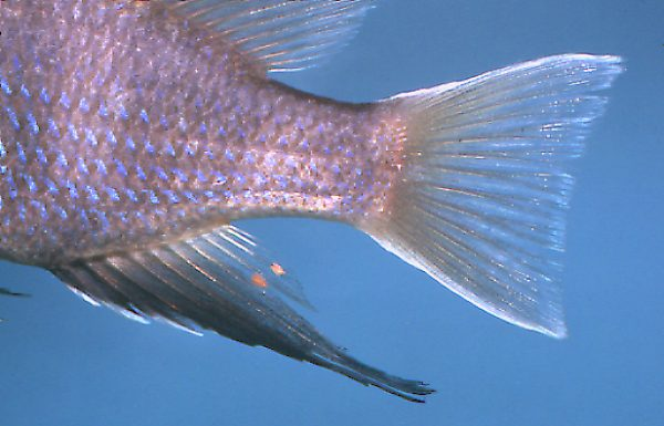 Maylandia elegans, anal and caudal fins,