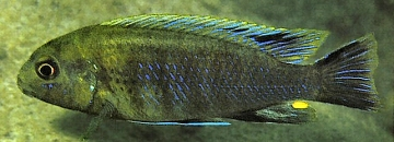 Pseudotropheus lucerna. Photo © Ad Konings