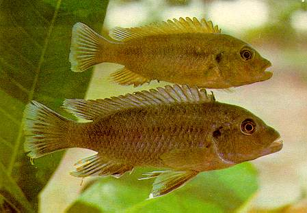 Pseudotropheus tursiops, types, photo by Dr. Herbert R. Axelrod