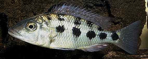 Fossorochromis rostratus, photo copyright © by M. K. Oliver