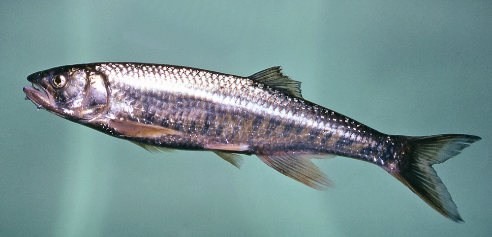 Opsaridium microcephalum, the Sanjika, a predatory cyprinid found in Lake Malawi. Photo copyright © by M. K. Oliver