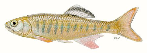 Opsaridium tweddleorum, a cyprinid found in inflowing streams of Lake Malawi; illustration from Skelton (1993), used by permission of P.H. Skelton