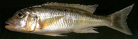 Buccochromis spectabilis, photo by M.K. Oliver