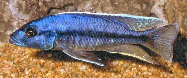 Taeniochromis holotaenia reportedly collected at Mbenji Island. Photo by Mark Smith used by permission
