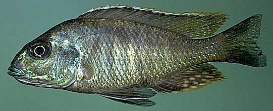 Otopharynx tetrastigma, photo copyright © by M. K. Oliver