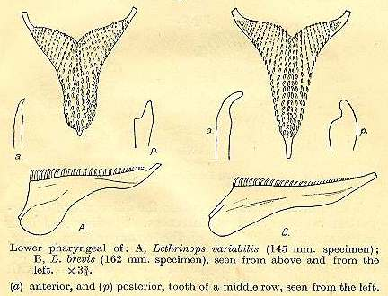Pharyngeal bones of Tramitichromis spp., drawings from Trewavas (1931)