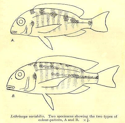 Tramitichromis variabilis, drawings from Trewavas (1931)