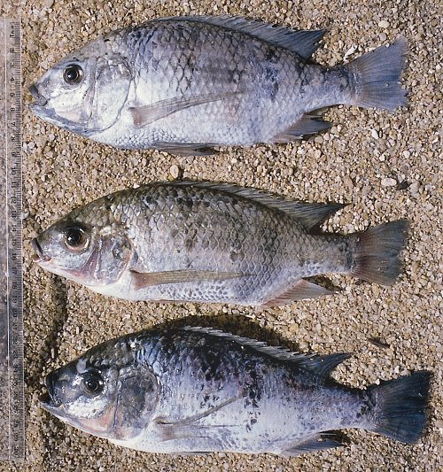 Three species of Oreochromis; photo © by G.F. Turner