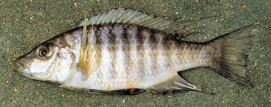 Placidochromis (formerly Lethrinops) polli, male, photo copyright © by G. F. Turner