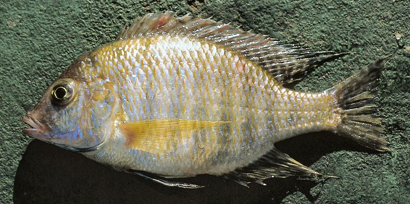 Lethrinops macracanthus, male, photo copyright © by G. F. Turner