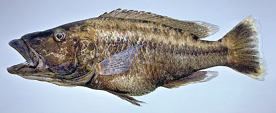 Tyrannochromis polyodon, photo copyright © by M. K. Oliver