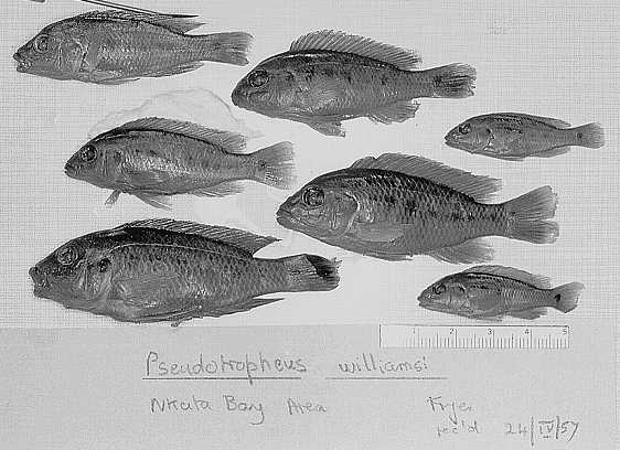 Pseudotropheus williamsi, Nkata Bay specimens collected by Fryer, photo copyright © 1997 by M. K. Oliver