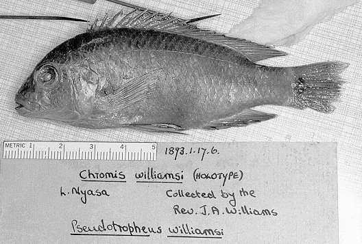 Pseudotropheus williamsi holotype, photo copyright © 1997 by M. K. Oliver
